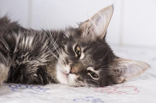 Epilepsia en gatos: qué hacer