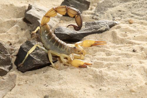 Escorpión de cola gruesa