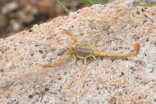 Escorpión de corteza de Arizona