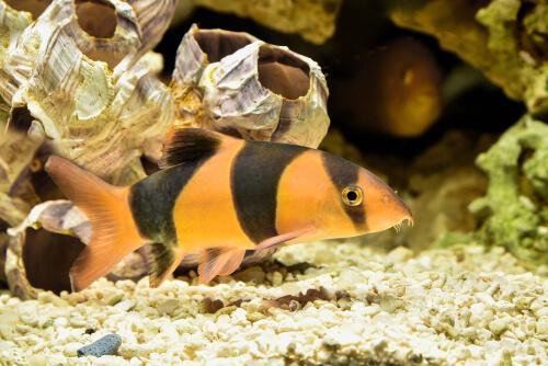 Fauna de Sumatra: locha payaso