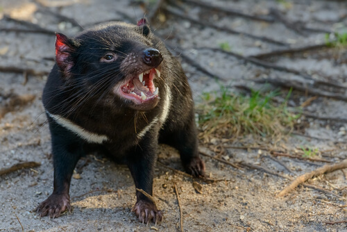 La fauna de Tasmania