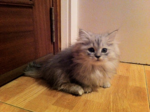 Gato Minuet, un peluche de patas cortas