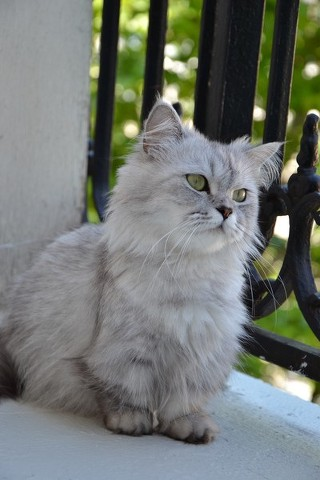 Gato Minuet: comportamiento