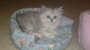 Gato Minuet: cuidados