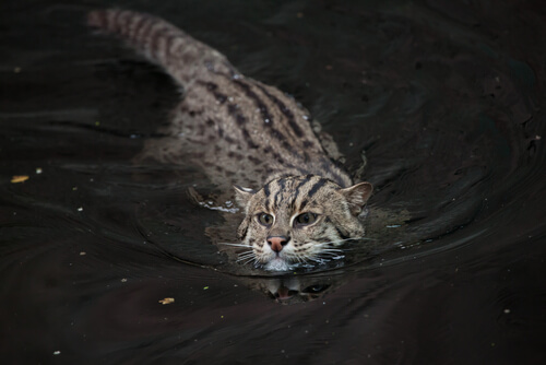Gato pescador, un felino en peligro de extinción