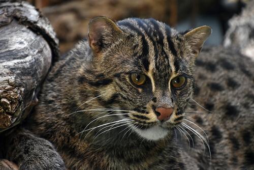 Gato pescador: hábitat
