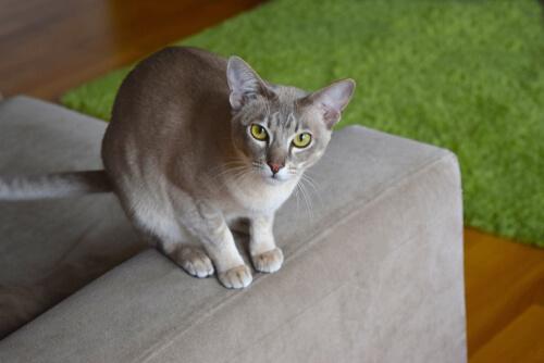 Gato que no suelte pelo: tonkinese