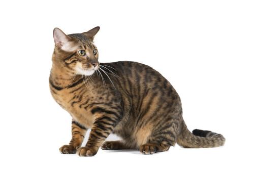 Gato Toyger, un tigre en miniatura
