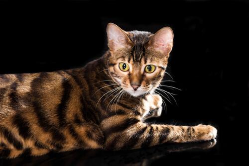 Gato Toyger: comportamiento