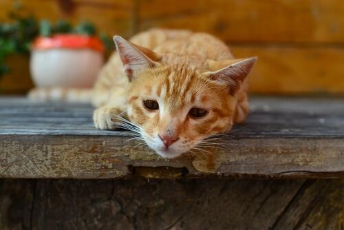 La giardia en los gatos: síntomas y cómo se trasmite