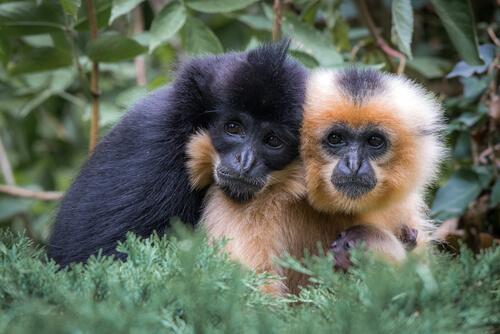 Gibones: monos