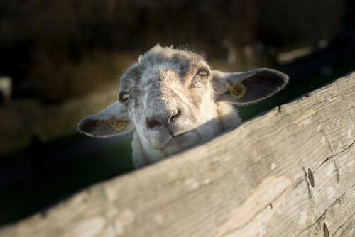 Identificación de ovejas y cabras