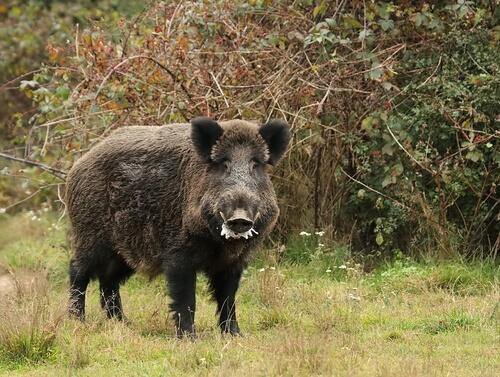 Jabalí: un salvaje de los bosques