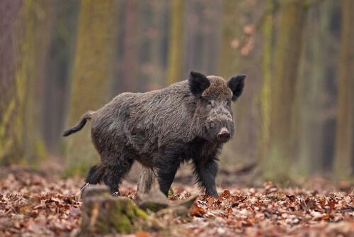 Jabalí: hábitat, alimentación y reproducción