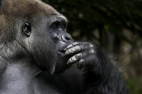 Koko la gorila más inteligente del mundo