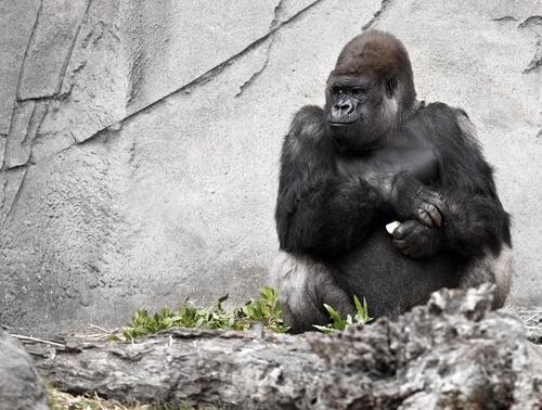 Muere Koko la gorila, el simio parlante