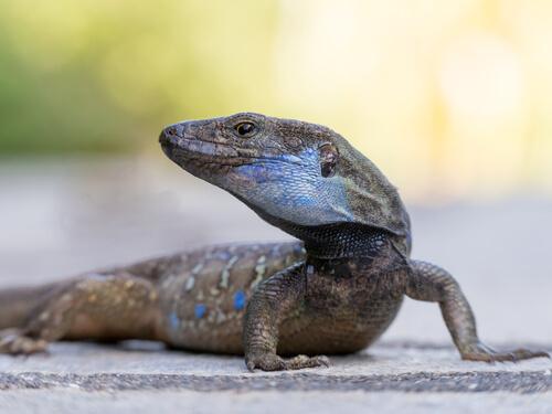 ¿Por qué hay tantos lagartos en Canarias?