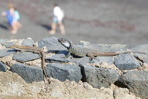 Lagartos en Canarias