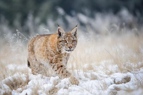 Lince boreal: hábitat