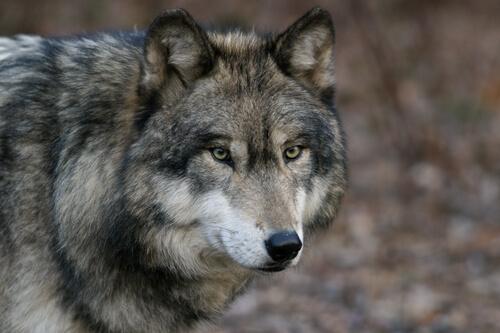 El lobo gris: 7 características y comportamiento