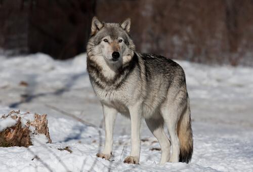 Lobo gris: comportamiento