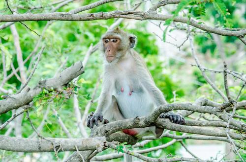 Macaco Rhesus: características