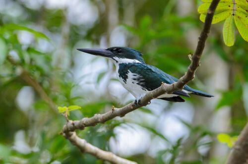 Martín pescador amazónico
