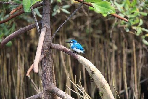 Martín pescador azulado