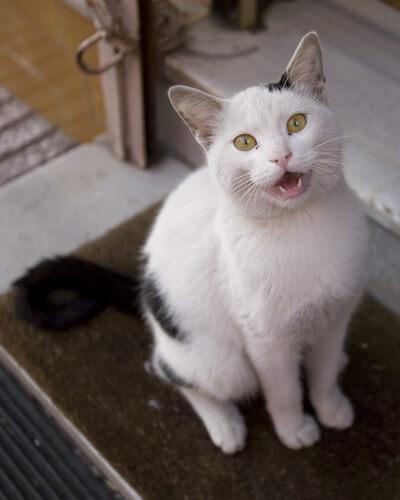 Maullido de los gatos: significado