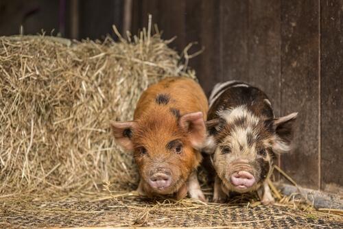 Mini cerdos vietnamita