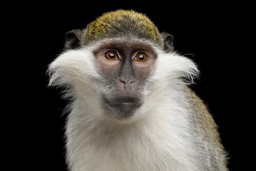 Mono verde, de Egipto a los laboratorios