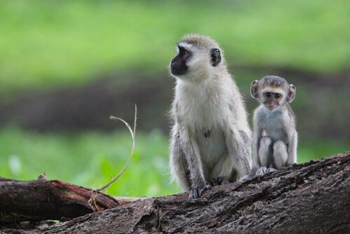 Mono verde: hábitat