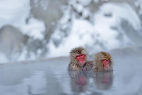 Los baños termales de los monos de las nieves