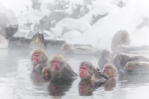 Monos de las nieves: comportamiento