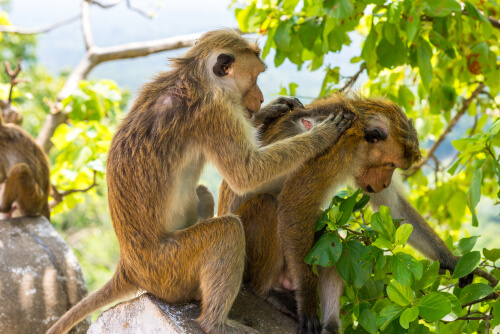 Monos despiojándose