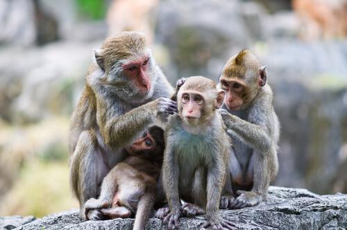 ¿Por qué los monos se acicalan entre ellos?