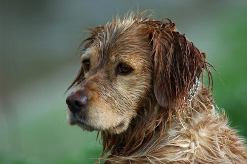 ¿Se puede evitar el olor a perro húmedo?