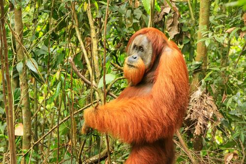 Orangután de Sumatra en peligro extinción