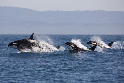 Orcas de caza