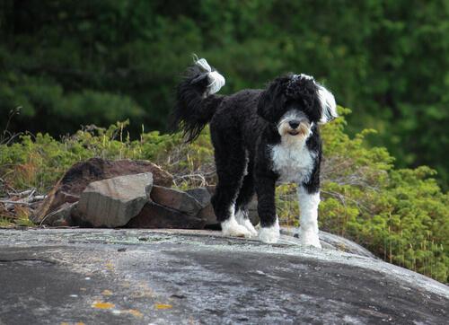 Perro de aguas portugués: un perro pescador