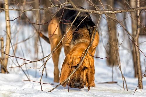 Perro se San Huberto: características