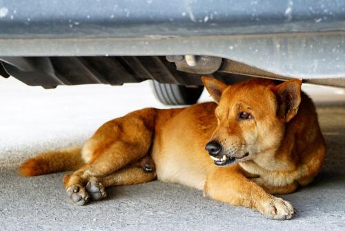 Perro con miedo a subir al coche