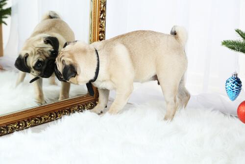 Perro se mira al espejo