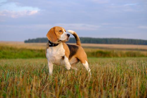 Perros rastreadores: beagle