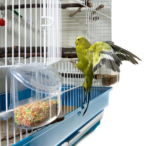 Piojos en aves domésticas