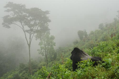 La población de gorila de montaña llega a los 1 000 ejemplares