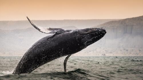 ¿Qué ballena es la de mayor tamaño?