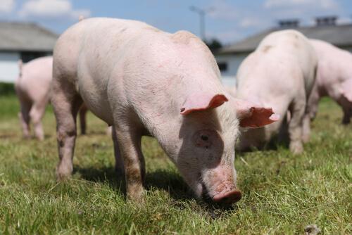 Qué come el cerdo