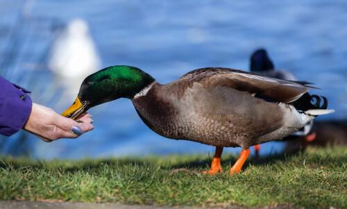 Qué come un pato doméstico