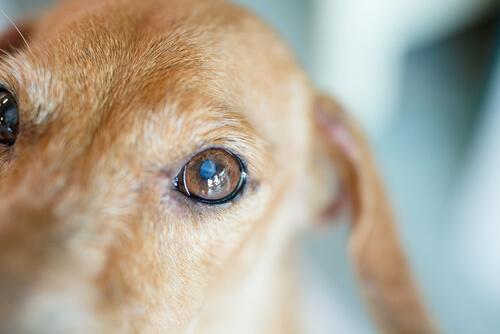 Qué son las cataratas en perros